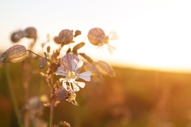 Fiore bianco su sfondo del tramonto