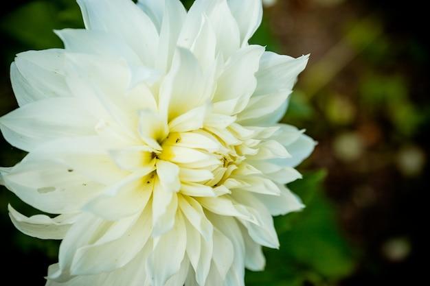 Fiore bianco su sfondo scuro. crisantemo. margherita. fiori di crisantemo. germoglio .