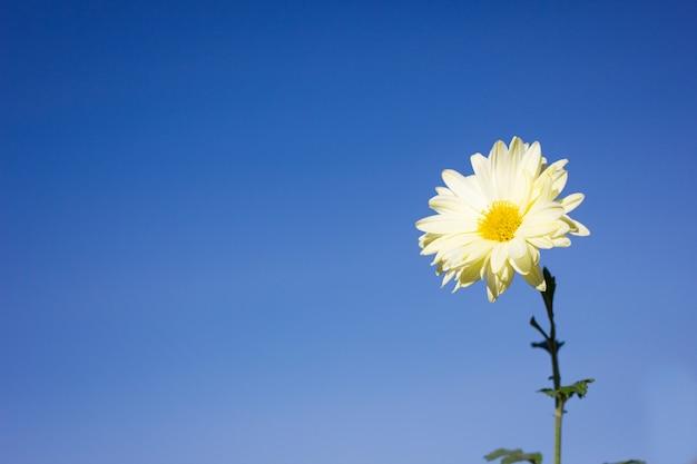 Fiore bianco sulla priorità bassa del cielo blu, primo piano, con spazio per l'iscrizione, fiore della sorgente