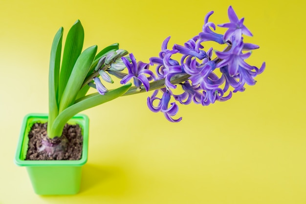 Fiore blu di fioritura del giacinto in vaso di plastica verde