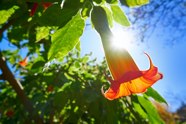 Fiore brugmansia sanguinea tromba di angeli