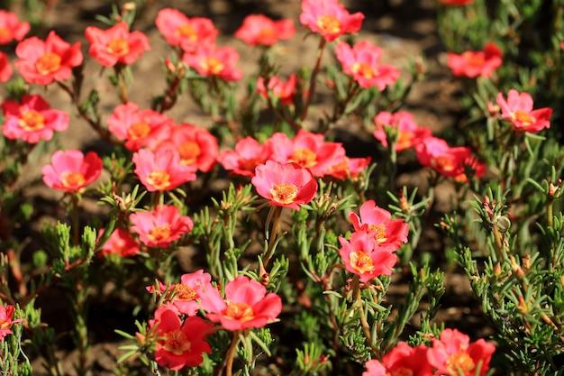 Fiore comune di purslane nel giardino