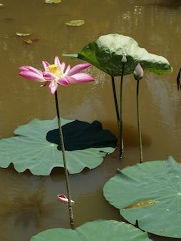 Fiore con petali di rosa in acqua