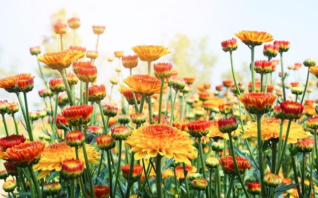 Fiore del crisantemo con la foglia su estate naturale verde. fioritura gialla del fiore sulla pianta del campo