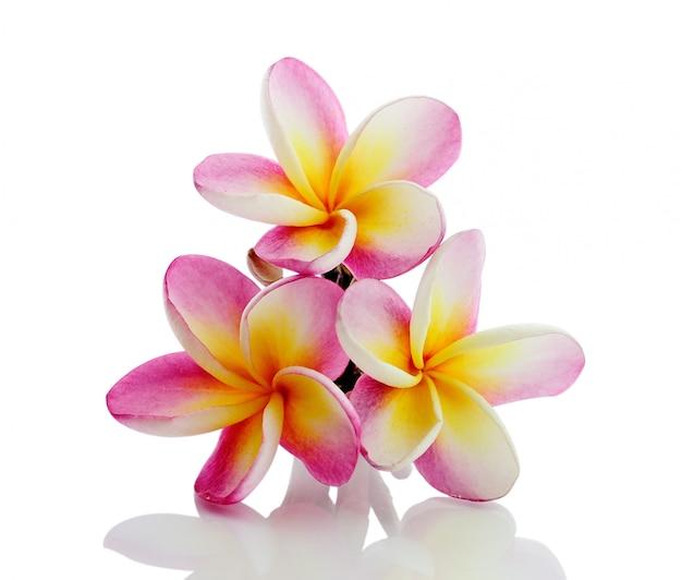 Fiore del frangipane isolato su fondo bianco