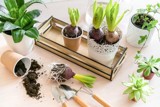 Fiore del giacinto in vasi di carta e strumenti di giardinaggio sulla parete di legno. primavera giardinaggio muro, piantando giacinto. muro di pasqua, concetto di primavera