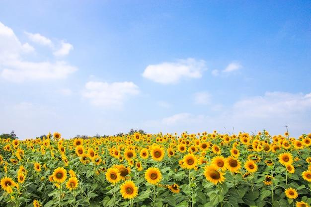 Fiore del girasole in estate con cielo blu