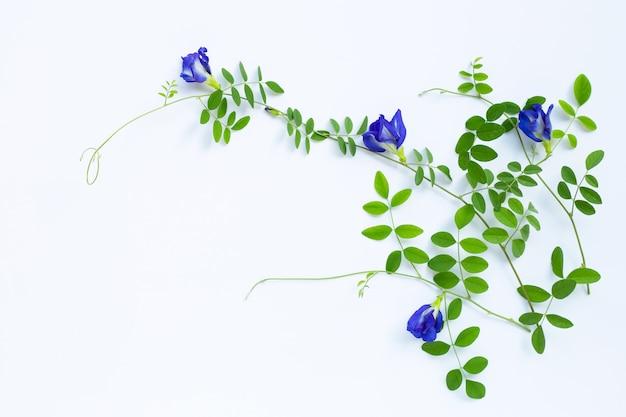 Fiore del pisello di farfalla con le foglie su bianco
