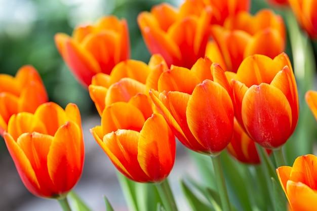 Fiore del tulipano nel campo del tulipano.