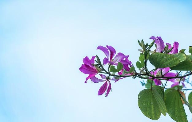 Fiore dell'albero di orchidea o bauhinia purpurea con cielo blu