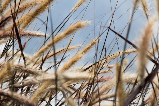Fiore dell'erba del primo piano nel vento e nel cielo blu