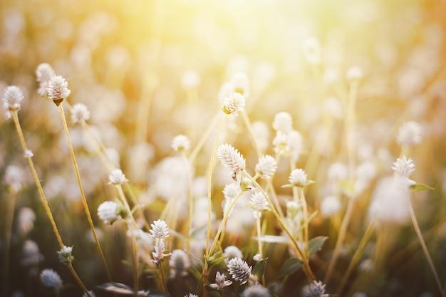 Fiore dell'erba, fuoco molle alto vicino una piccola erba dei fiori selvaggi in foto d'annata calda di tono del fondo di tramonto e di alba