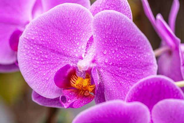 Fiore dell'orchidea con il primo piano di gocce