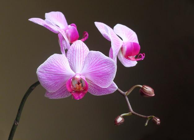 Fiore dell'orchidea di falena (phalaenopsis) su fondo scuro