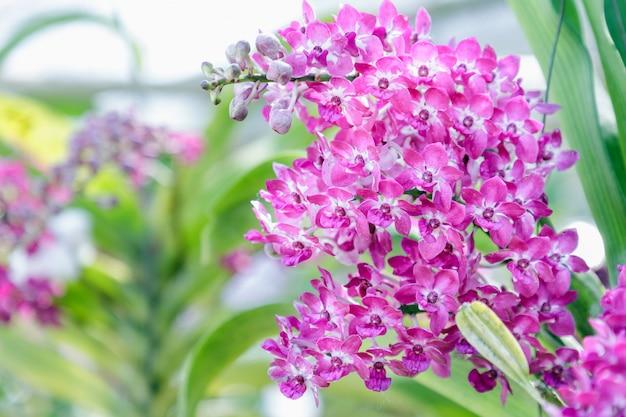 Fiore dell'orchidea nel giardino dell'orchidea al giorno di inverno o di primavera per bellezza della cartolina