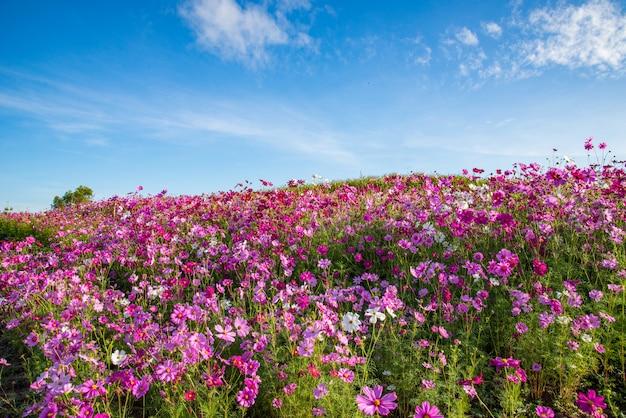 Fiore dell'universo del campo di rosa del fiore della primavera che fiorisce nel giardino