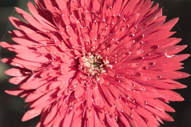 Fiore della gerbera della foto del fuoco molle