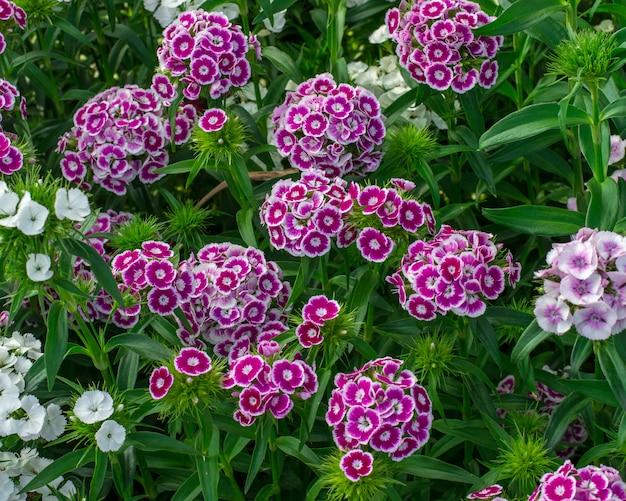 Fiore di barbatus del dianthus in giardino