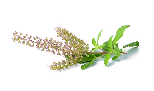 Fiore di basilico su sfondo bianco