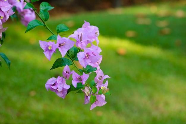 Fiore di bouganville viola