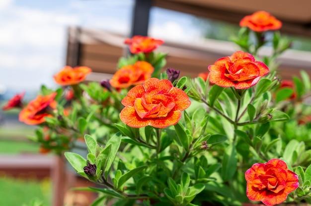 Fiore di calibrachoa in fiore