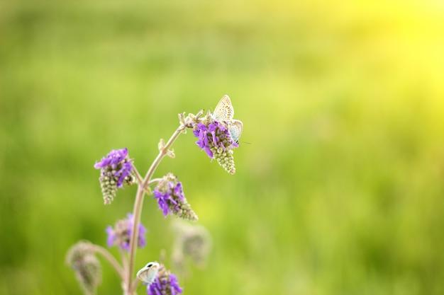 Fiore di campo viola con farfalla blu, con luce solare morbida