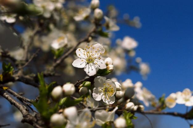 Fiore di ciliegia su una priorità bassa del cielo blu