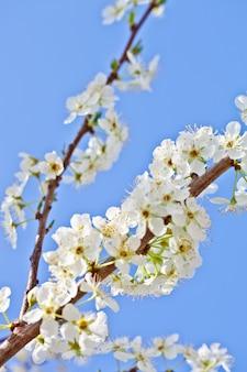 Fiore di ciliegio con fiori bianchi