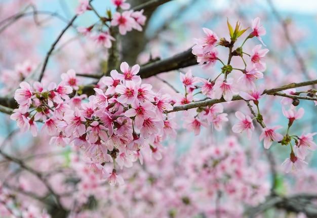 Fiore di ciliegio himalayano selvatico