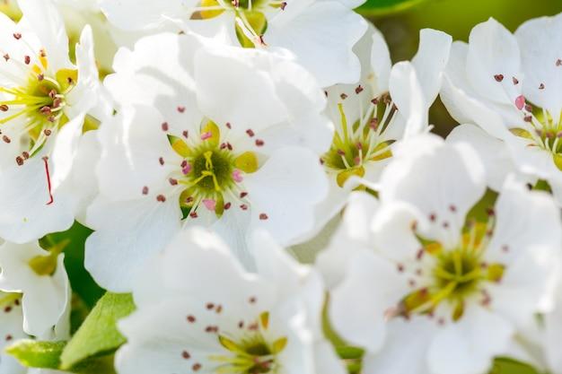 Fiore di ciliegio in primavera