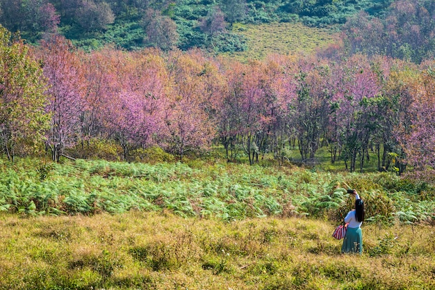Fiore di ciliegio prunus cerasoides o wild himalayan cherry