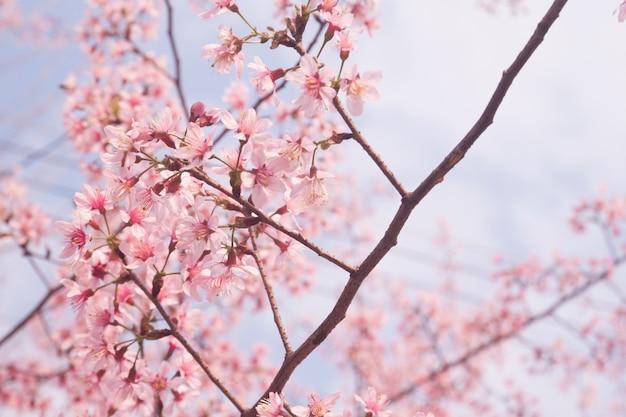 Fiore di ciliegio rosa petalo stagione fresco