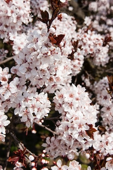 Fiore di ciliegio rosa