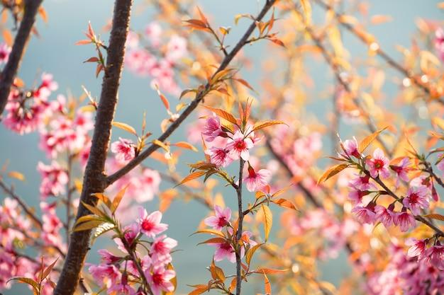 Fiore di ciliegio selvaggio dell'himalaya