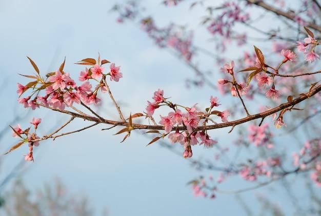 Fiore di ciliegio selvatico himalayano