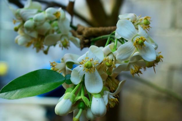 Fiore di citrus grandis, citrus maxima, pomelo