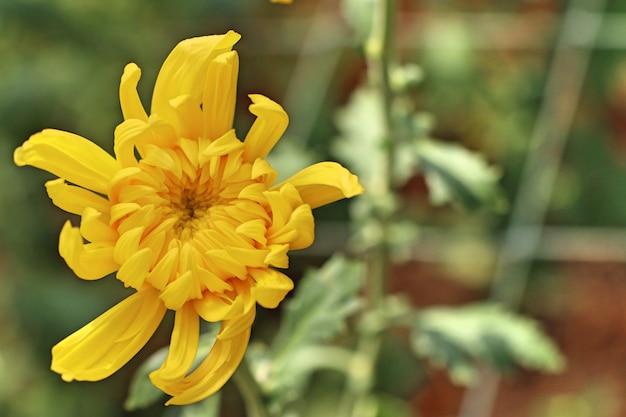 Fiore di crisantemo in tropicale