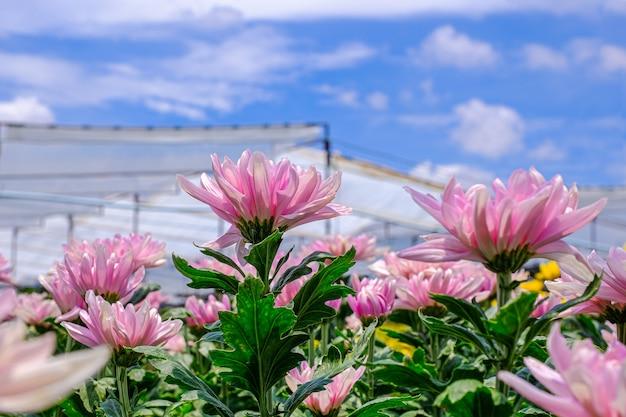 Fiore di crisantemo rosa nel gerden