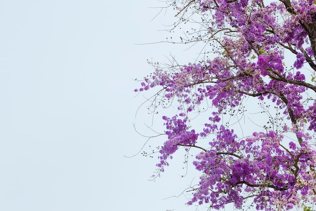 Fiore di estate, lagerstroemia floribunda, albero del fiore.