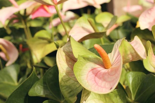 Fiore di fenicottero