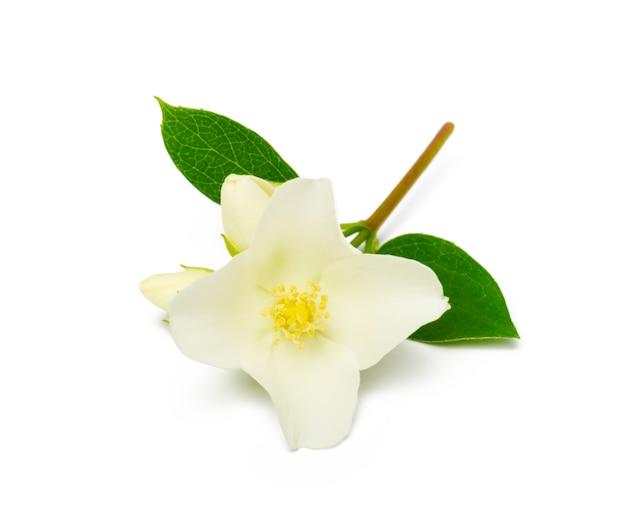 Fiore di gelsomino con foglie su bianco