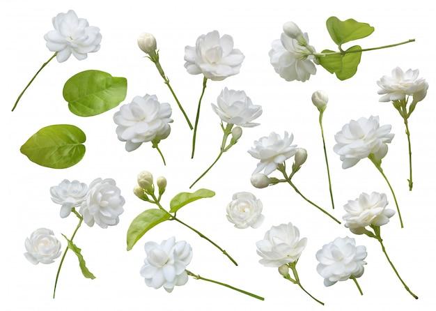 Fiore di gelsomino isolato