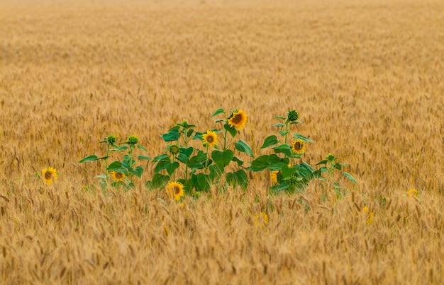 Fiore di girasole in un campo di grano