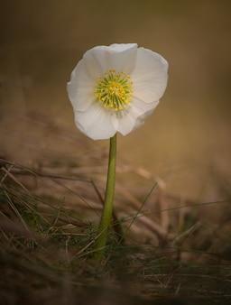 Fiore di helleborus niger