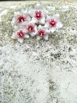 Fiore di hoya (caudata) sullo sfondo del muro di cemento e spazio libero per il testo.