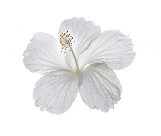 Fiore di ibisco sul muro bianco