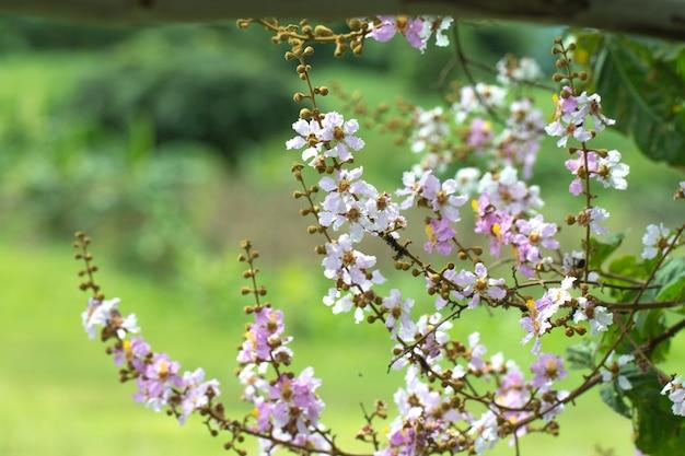 Fiore di jack floribunda di lagerstreomia su sfondo naturale verde