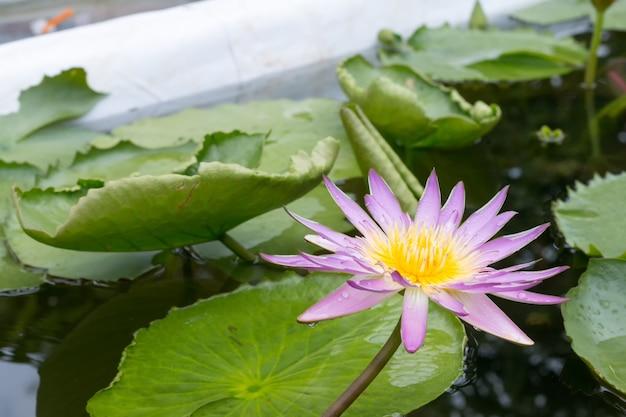 Fiore di loto del primo piano