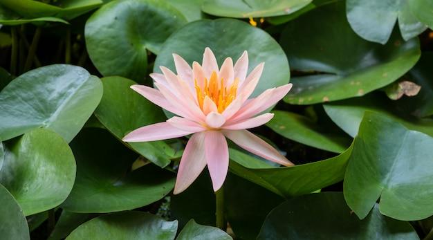 Fiore di loto è complimentato dai ricchi colori della superficie dell'acqua blu profondo. sfondo di natura.