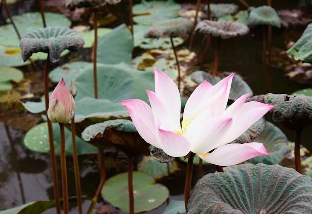 Fiore di loto e piante di fiori di loto